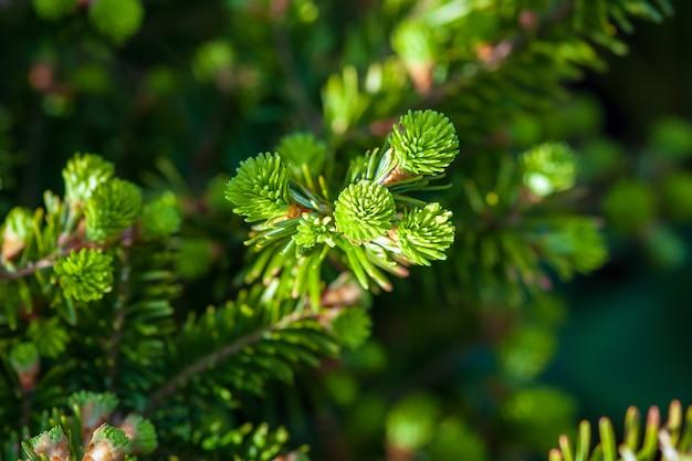 Tannenbaum mit jungen trieben im frühjahr