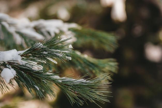 Tannenzweige im schnee