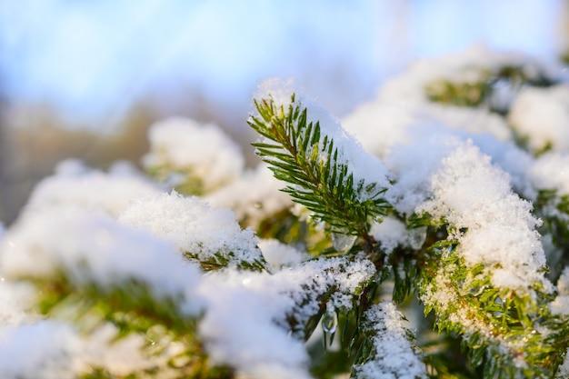 Tannenzweige mit frischem schnee bedeckt, mit gefrorenen eiströpfchen. winterwald.