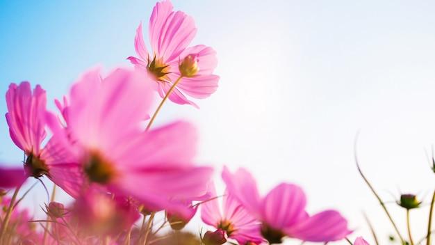 Tapezieren sie die oberfläche, die von den weichen rosa blumenblättern mit der kosmosblume verwischt wird, die im garten blüht.