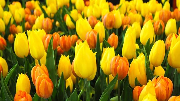 Tapezieren sie mit gelber und orange farbe der tulpenblume im garten.