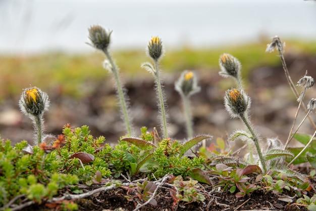Tapezieren sie norwegen-landschaftsnatur eines polaren tages der blumen mit arktischem sommer