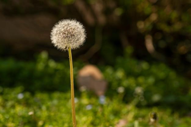 Taraxacum-blume, umgeben von grünem gras im frühling