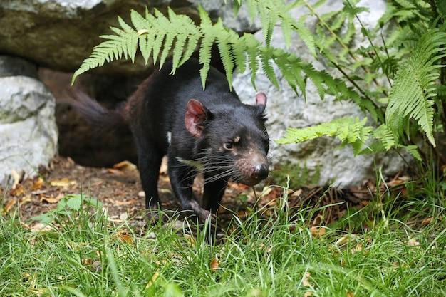 Tasmanischer teufel. sarcophilus harrisii