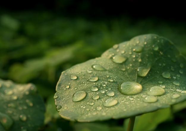 Tau auf centella asiatica nach dem regen