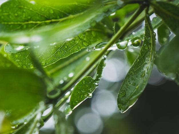 Tau auf den blättern nach regen in der regenzeit
