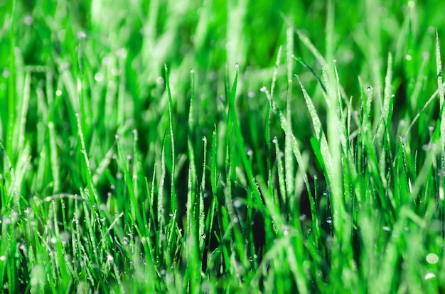 Tau im gras. schöner natürlicher frühling verwischte hintergrund. morgen im gras.