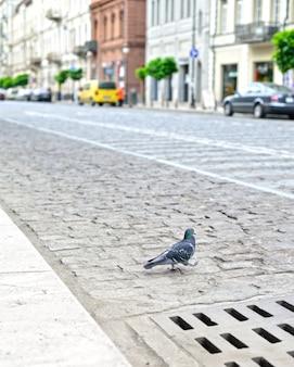 Taube auf der straße der stadt