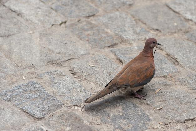 Taube, die auf pflasterung in der alten stadt geht
