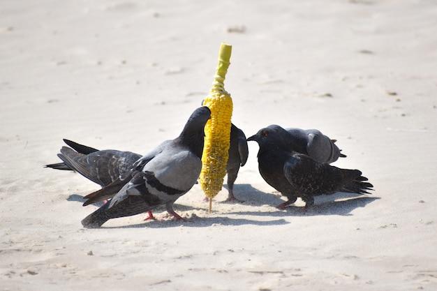 Tauben am strand fressen mais.