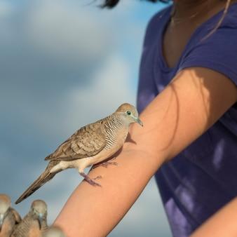 Tauben, die auf der hand einer frau hocken, waikiki, diamantkopf, kapahulu, st. louis, honolulu, oahu, hawa
