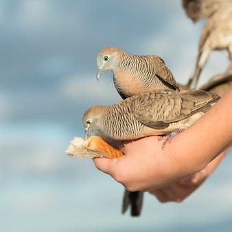 Tauben, die von der hand einer person füttern, waikiki, diamond head, kapahulu, st. louis, honolulu, oahu, ha