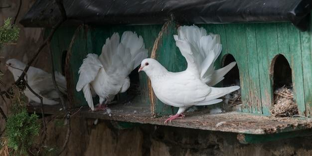 Tauben im vogelhaus, positano, amalfi-küste, salerno, kampanien, italien