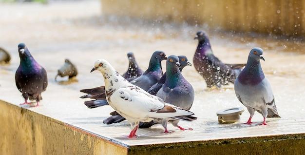 Tauben in der nähe des brunnens bei heißem wetter