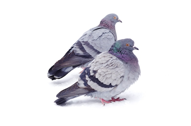 Tauben isoliert auf weiß