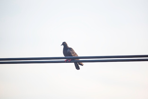 Tauben sitzen auf dem elektrischen hochhausdraht. vögel auf der stromleitung. ruhige taube auf stromkabel.