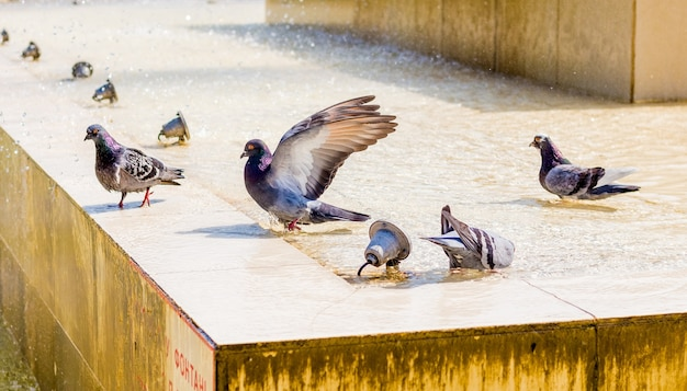 Tauben trinken wasser am brunnen und suchen an einem heißen tag nach kühle