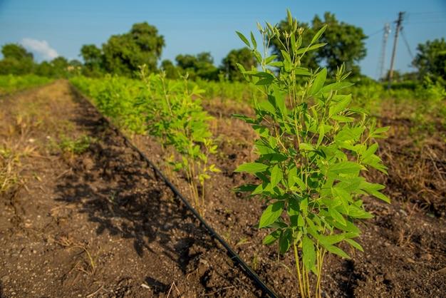 Taubenerbsenernte-feld, taubenerbsenbohnengemüse auf der pflanze mit blume