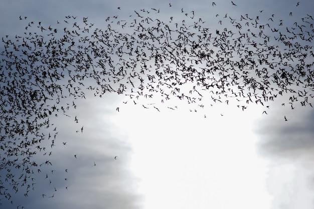 Tausendhundert fledermäuse am abendhimmel,