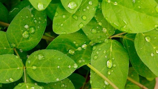 Tautropfen auf bündel oder grünen blättern