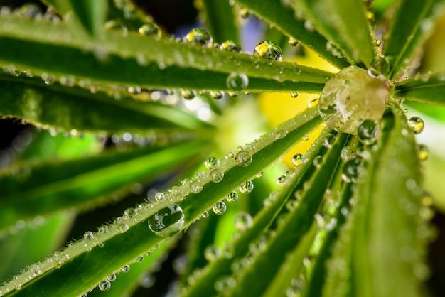 Tautropfen auf den blättern der lupinenpflanzen. nahansicht.