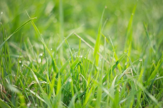 Tautropfen auf jungem grünem gras. frisches grünes frühlingsgras mit tautropfennahaufnahme.