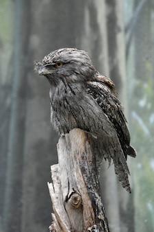 Tawny frogmouth vogel sitzt auf einem baumstumpf gehockt.