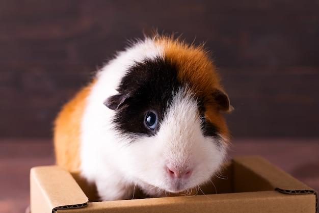 Teddy-meerschweinchen, das auf kasten klettert