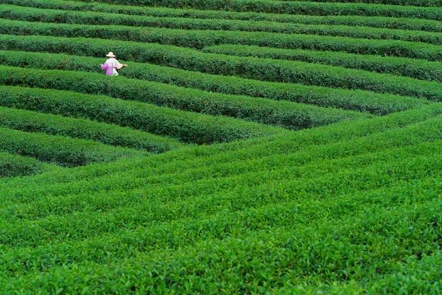 Tee-arbeiter, der teeblätter in einer teeplantage pflückt