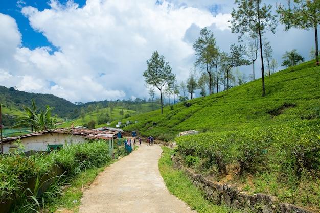 Tee plantage . natur hintergrund