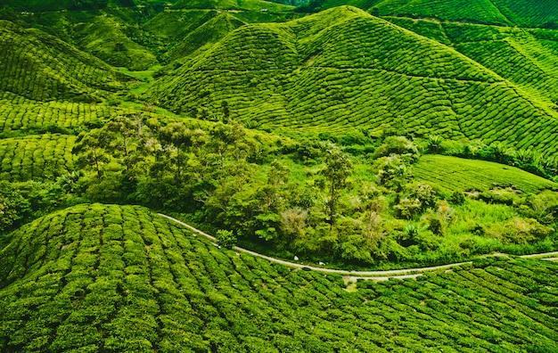 Tee plantage