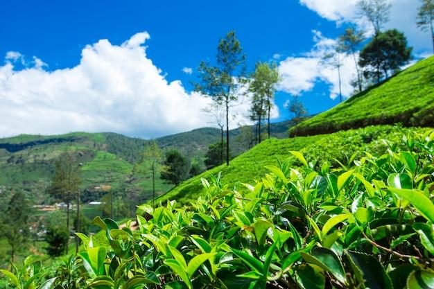 Tee plantage .
