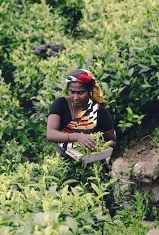 Teearbeiter, der teeblätter in einer plantage auswählt
