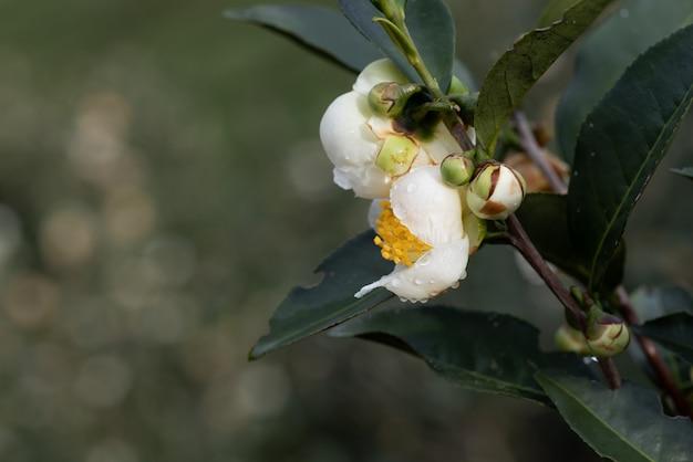 Teebaumblüten im regen, blütenblätter mit regentropfen