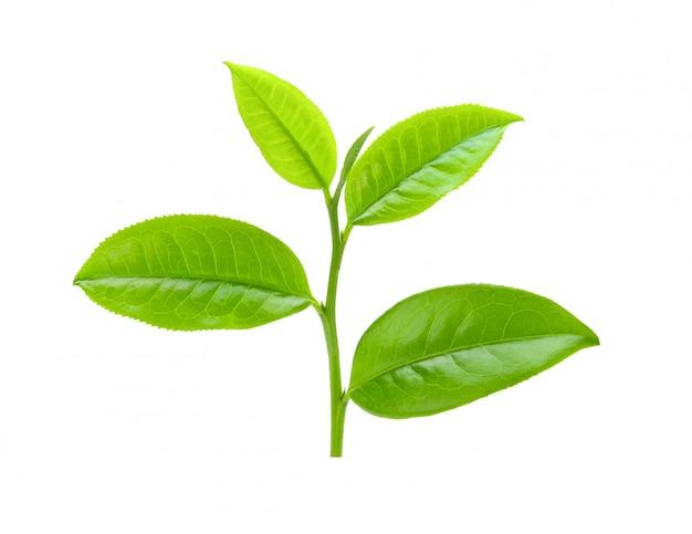 Teeblatt auf weißem raum