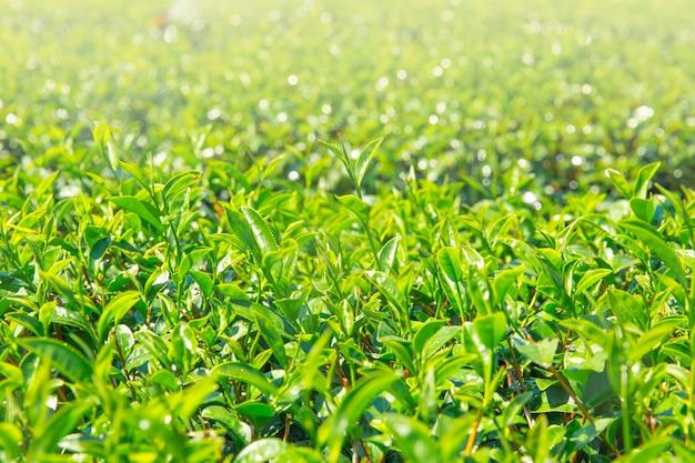 Teepflanzenhintergrund-landwirtschaftsindustrie in gebirgshügel thailands chiangrai.
