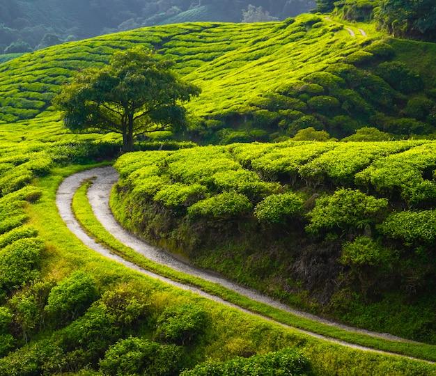 Teeplantage auf dem land