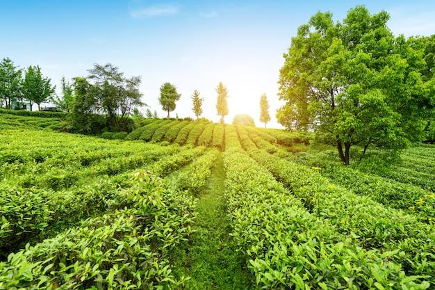 Teeplantage auf der spitze des berges