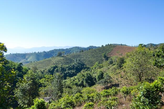 Teeplantage gepflanzt auf berg