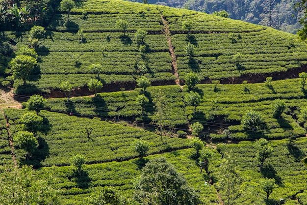 Teeplantage in sri lanka
