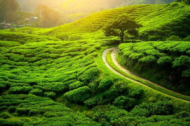 Teeplantage und einsamer baum in der sonnenuntergangszeit. naturhintergrund