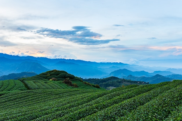 Teeplantage und gebirgsnatur in taiwan
