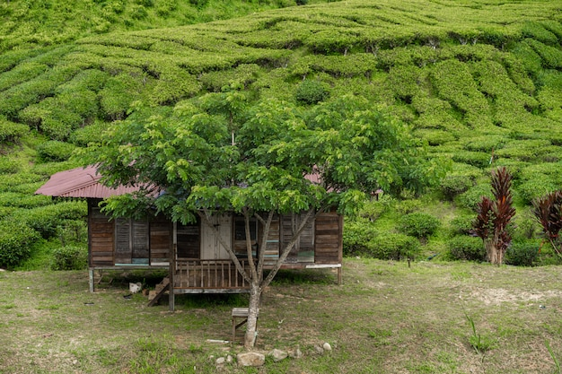 Teeplantagen cameron valley. grüne hügel im hochland von malaysia. teeproduktion. grüne büsche jungen tees.