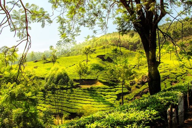 Teeplantagen in munnar, kerala, indien.