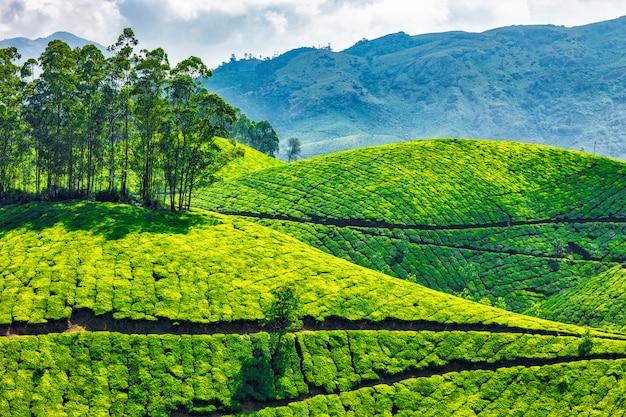 Teeplantagen