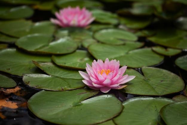 Teich mit lilien und seerosen.