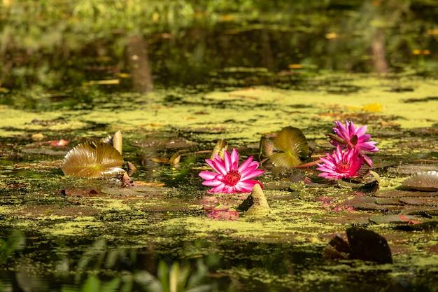 Teich mit seerosenblättern und seerosen im wetland center im sungei buloh wetland reserve.