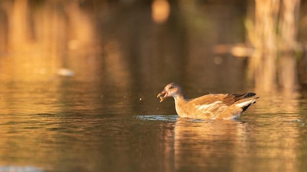 Teichhühner, gallinula chloropus. der vogel schwimmt auf dem teich.