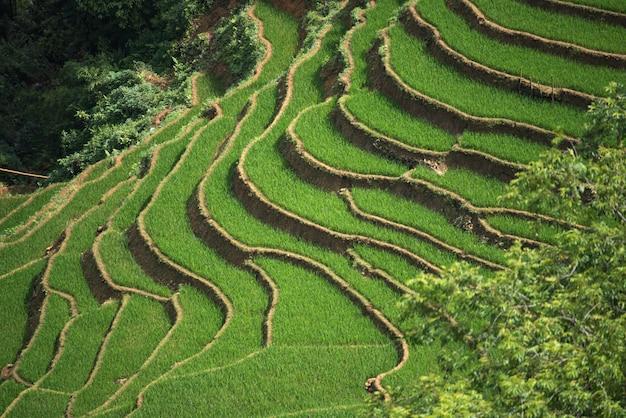 Terassenförmig angelegte reisfelder in sapa, lao cai, vietnam