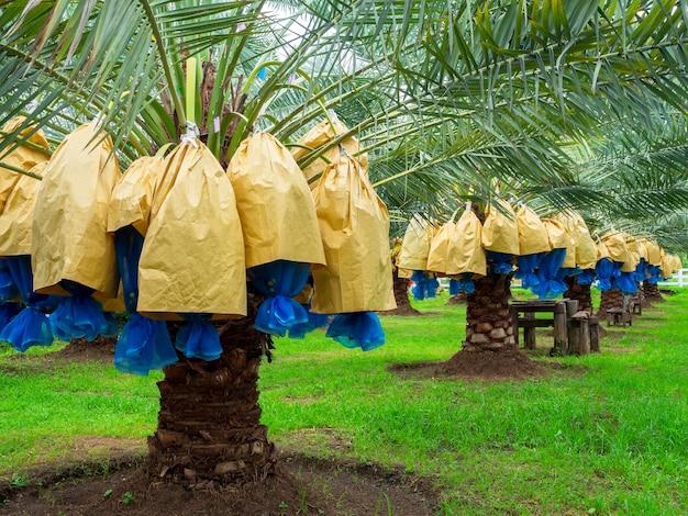 Termine auf palme. bündel gelbe datteln auf dattelpalme in der farm.